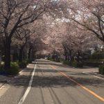 桜のトンネル☆